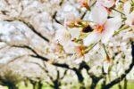 春の桜並木